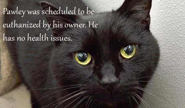 Pawley was scheduled to be euthanized by his owner. He is a perfectly healthy cat.